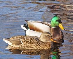 Breeding Pair of Mallard ducks  - Mallard male looking at female