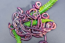 Breeding red worms Dendrobena. Fertile soil. Natural soil improvement. Fishing worms