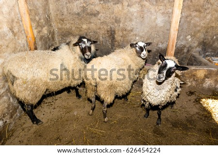 Breeding sheep on a farm. Sheep in the pen close-up. #626454224