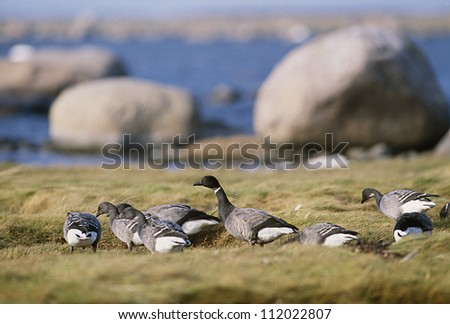 Brent goose on riverbank with large boulders in background