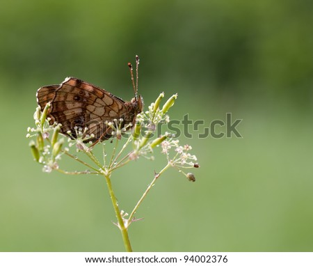Brenthis ino Butterfly (Lesser marbled fritillary) trying to hide on a plant with some dewdrops