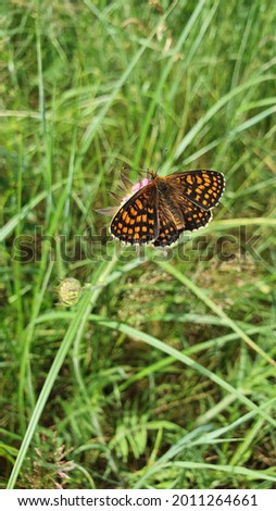 Brenthis ino, the lesser marbled fritillary, is a butterfly of the family Nymphalidae Stock photo ©