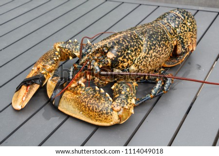Breton alive lobster after fishing in Brittany #1114049018