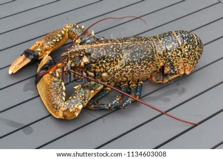 Breton alive lobster after fishing in Brittany #1134603008