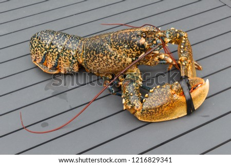 Breton alive lobster after fishing in Brittany #1216829341