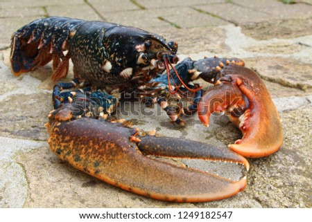 Breton alive lobster after fishing in Brittany #1249182547