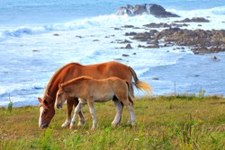 Breton Horses near the sea along the coastal footpath, Landunvez, Brittany, France