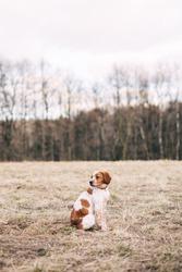 Breton spaniel, sunny hunter dog