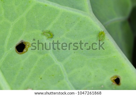 Brevicoryne brassicae, commonly known as the cabbage aphid or cabbage aphis or mealy cabbage aphid on rapeseed leaf.