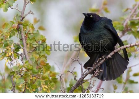 Brewer's Blackbird Displaying #1285133719