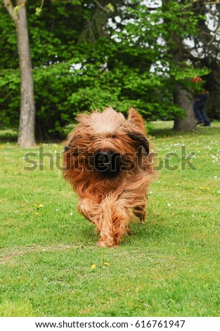 Briard dog, portrait of french shepherd in outdoors. #616761947