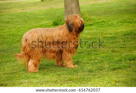 Briard dog, portrait of french shepherd in outdoors. #616762037