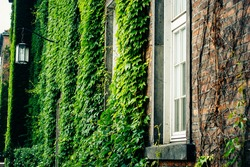 Brick wall covered with green grape and ivy (Hedera helix)