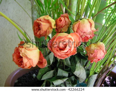 Bright and beautiful Yellow Orange Dry Roses in the garden - stock photo
