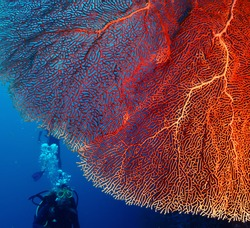 Bright and big hard coral and diver with bubbles on the background