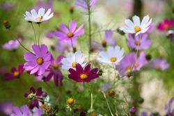 Bright and colorful cosmea flowers on a flower bed on a sunny day.