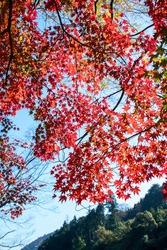 Bright and Colorful crimson leaves at Mitake keikoku (Mitake Gorge), Tokyo Japan