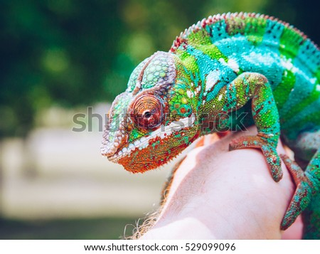Bright and colorful panther chameleon sitting on a palm - Shutterstock ID 529099096