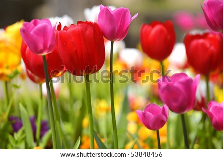 stock-photo-bright-and-colorful-tulips-flower-53848456.jpg