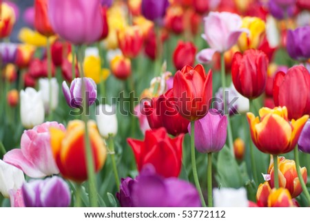 Bright and colorful tulips flower blooming in a park