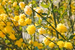 Bright and sunny spring botany - blooming of yellow Japanese kerria rose (kerria japonica)