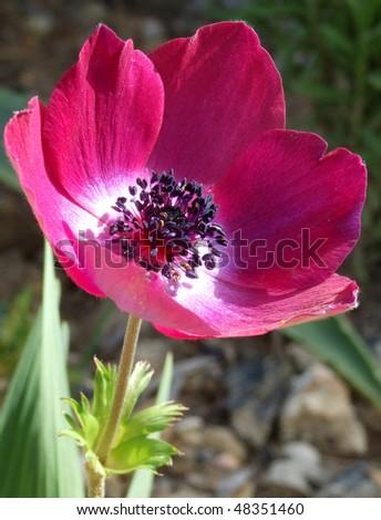 Bright Anemone Flower