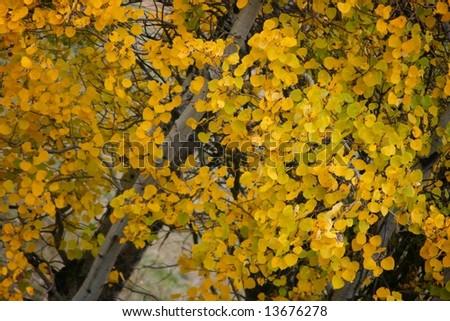 Bright Aspen leaves in Fall