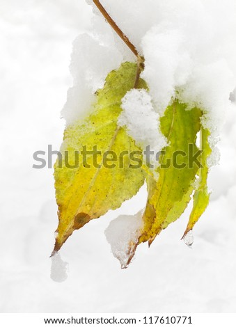 Bright autumn leaves covered with snow