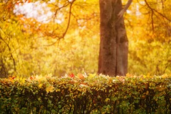 bright autumn maple leaves on bush, fall theme photo