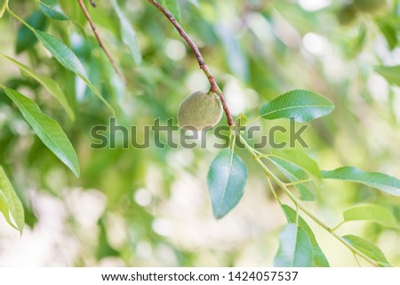 Bright background of an unripe green almond on an almond tree branch.