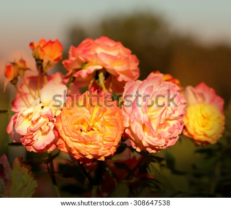 bright background with beautiful roses in the garden