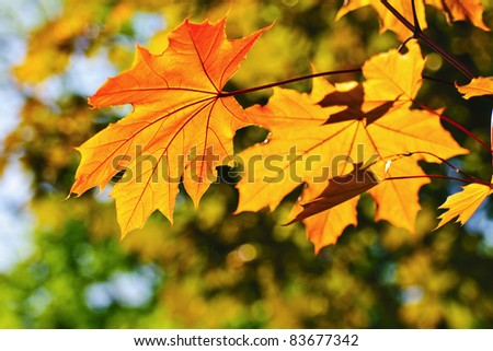 Bright backlit maple leaves of golden color in the autumn park