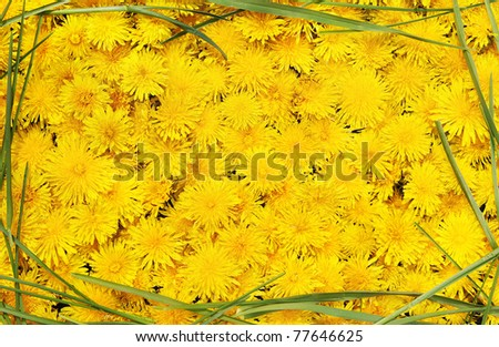 Bright beautiful background of yellow flowers in the frame of green grass