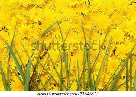 Bright beautiful background of yellow flowers with green grass