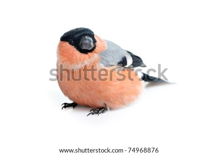 Bright beautiful bird,  eurasian bullfinch isolated