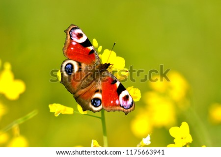 Bright, beautiful butterfly Peacock Eye (Aglais io), red with colorful circles on the wings, sits on a yellow flower (Brássica nápus). Russian Federation, Sverdlovsk Region, Artemovsky District.