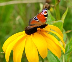 Bright, beautiful butterfly with eyes on the wings on a yellow flower. The butterfly is called Peacock butterfly, European peacock or Aglais io. The flower is a Rudbeckia.