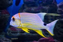 Bright beautiful fish snapper sailing, Symphorichthys spilurus, swims in the aquarium. Marine life, fish.