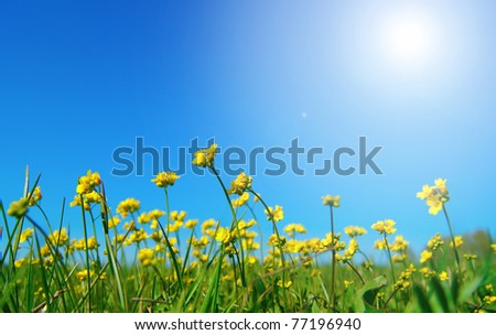 Bright beautiful yellow flowers on a green field against the dark blue sky