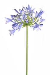 Bright blue Agapanthus flower
