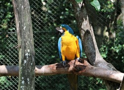 Bright Blue Hyacinth Macaw, Anodorhynchus hyacinthinus, Blue and yellow Macaw, Ara ararauna, Brazil