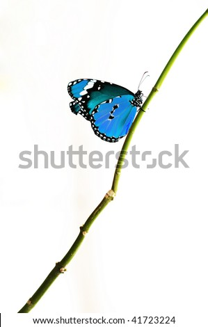 bright blue isolated butterfly