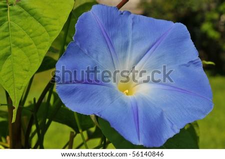 Bright blue morning glory in full bloom