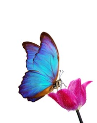 bright blue tropical morpho butterfly on purple tulip in water drops isolated on white. copy space. butterfly on a flower. greeting card