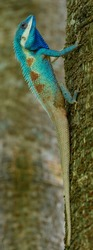 Bright blue with red spot on its rough skin of Blue Crested Lizard (Calotes mystaceus) the most beautiful color changable reptile in Thailand