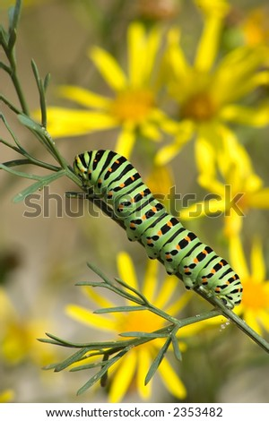 bright caterpillar of Papilio machaon Linnaeus on a background of yellow flowers