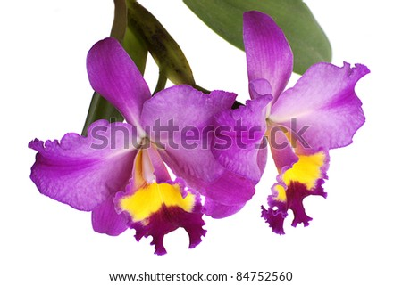bright cattleya orchid flower isolated on white