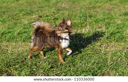 bright chocolate chihuahua playing with a stick on a sunny meadow