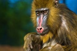 Bright Colored Adult Male Mandrill close-up portrait
