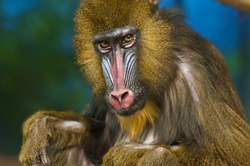 Bright Colored Adult Male Mandrill close-up portrait